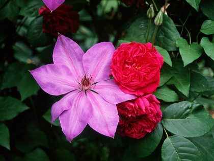 Clematis and rose in the garden